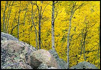 Aspens in autumn foliage and boulders. Rocky Mountain National Park ( color)