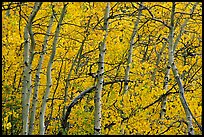 Yellow aspen foliage. Rocky Mountain National Park, Colorado, USA. (color)