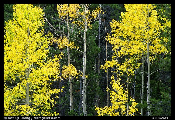 Yellow aspens in forest. Rocky Mountain National Park (color)