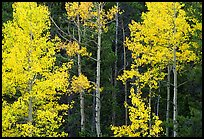Yellow aspens in forest. Rocky Mountain National Park ( color)