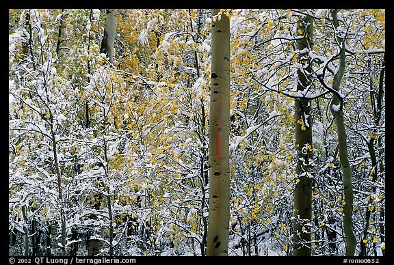 Yellow aspens with fresh snow. Rocky Mountain National Park (color)