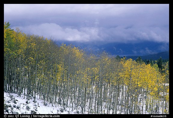 Aspens and snow. Colorado, USA