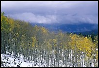 Aspens and snow. Colorado, USA (color)
