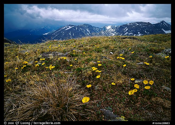 Yellow alpine wildflowers, tundra and mountains. Rocky Mountain National Park (color)