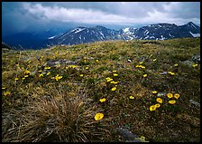 Yellow alpine wildflowers, tundra and mountains. Rocky Mountain National Park, Colorado, USA.