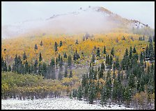 Yellow aspens and conifers in snow and fog. Rocky Mountain National Park, Colorado, USA.