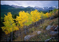 Aspens in bright yellow foliage and mountain range in Glacier basin. Rocky Mountain National Park, Colorado, USA.