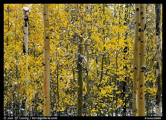 Aspens with early autumn snowfall. Rocky Mountain National Park (color)