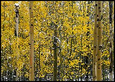 Aspens in autumn color with early  snowfall. Rocky Mountain National Park, Colorado, USA.
