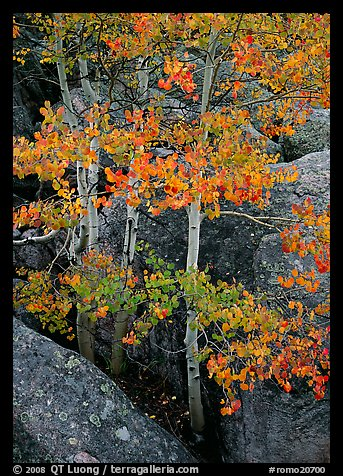 Aspens with multicolored leaves growing in boulder field. Rocky Mountain National Park, Colorado, USA.