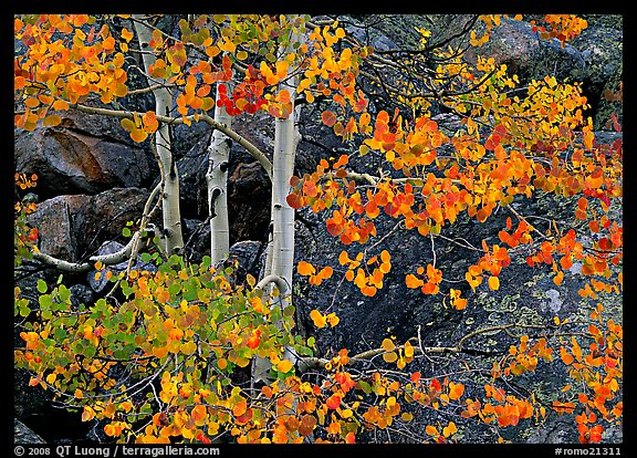 Colorful Aspen and boulders. Rocky Mountain National Park (color)
