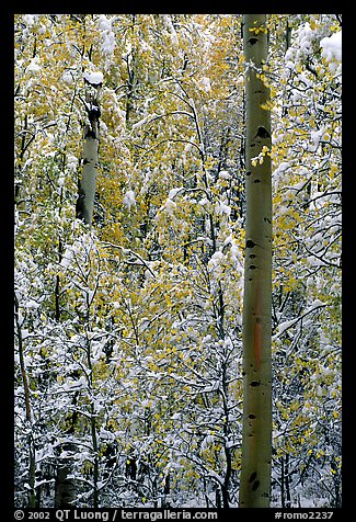Aspens in fall foliage and snow. Rocky Mountain National Park (color)