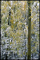 Aspens in fall foliage and snow. Rocky Mountain National Park, Colorado, USA.