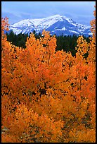 Orange aspens and blue mountains. Colorado, USA