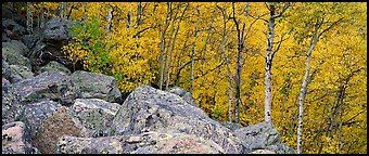 Aspens in yellow autumn foliage and boulder field. Rocky Mountain National Park (Panoramic color)