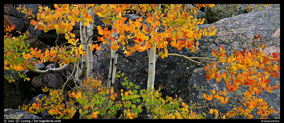 Aspen trees with fall leaves. Rocky Mountain National Park (color)