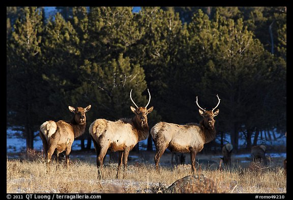 Group of Elk. Rocky Mountain National Park (color)