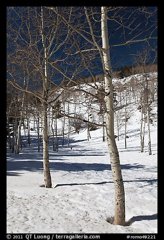 Aspen trees in winter. Rocky Mountain National Park (color)