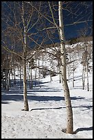 Aspen trees in winter. Rocky Mountain National Park ( color)