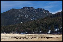 Elk Herd and  Gianttrack Mountain, late winter. Rocky Mountain National Park ( color)