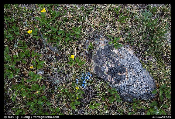 Alpine flowers and rock. Rocky Mountain National Park (color)
