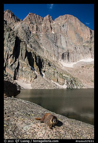Marmot on shore of Chasm Lake below Longs peak. Rocky Mountain National Park (color)