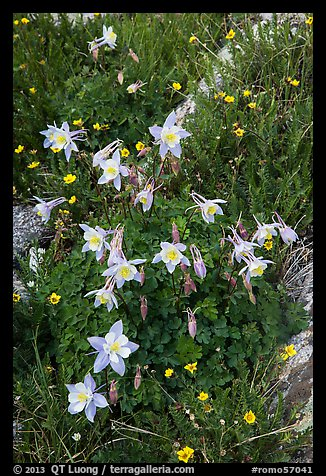 Close-up of Columbine. Rocky Mountain National Park (color)