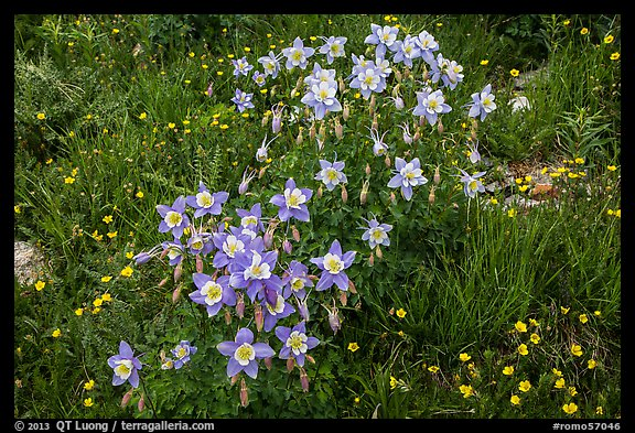 Columbine flowers. Rocky Mountain National Park (color)