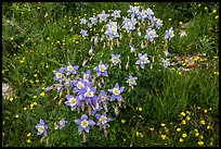 Columbine flowers. Rocky Mountain National Park, Colorado, USA. (color)