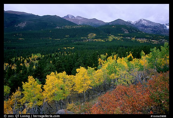 Scrub and yellow aspens in Glacier basin, fall. Rocky Mountain National Park, Colorado, USA.