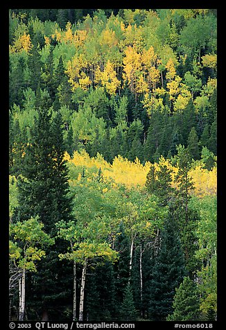 Aspens in various shades of fall colors. Rocky Mountain National Park, Colorado, USA.