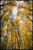 Aspen grove with golden leaves in autumn. Rocky Mountain National Park ( color)