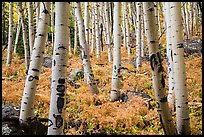 Aspens and ferns in autumn. Rocky Mountain National Park ( color)