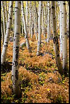 Aspen grove and ferns on forest floor in autumn. Rocky Mountain National Park ( color)