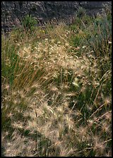 Barley grasses with badlands in background, North Unit. Theodore Roosevelt National Park, North Dakota, USA. (color)