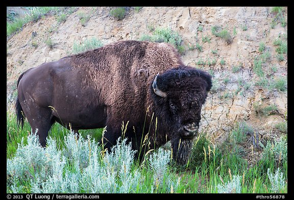 Bison. Theodore Roosevelt National Park (color)