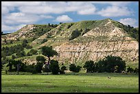 Pronghorn in meadow with prairie dog town below buttes. Theodore Roosevelt National Park ( color)