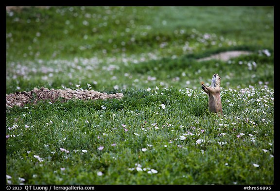 Prairie dog in meadow carpeted with flowers. Theodore Roosevelt National Park (color)