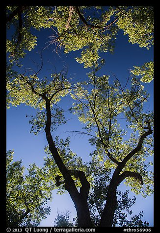 Looking up cottonwood trees. Theodore Roosevelt National Park (color)