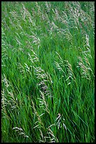 Tall grasses in summer, Elkhorn Ranch Unit. Theodore Roosevelt National Park, North Dakota, USA. (color)
