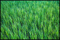 Grasses in summer, Elkhorn Ranch Unit. Theodore Roosevelt National Park ( color)
