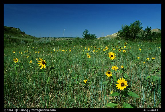 Sunflowers in prairie. Theodore Roosevelt National Park (color)