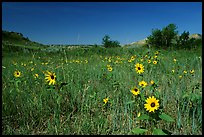 Sunflowers in prairie. Theodore Roosevelt National Park, North Dakota, USA.