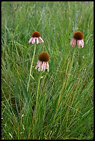Prairie flowers. Theodore Roosevelt National Park, North Dakota, USA. (color)