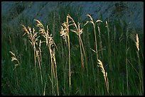 Backlit tall grasses. Theodore Roosevelt National Park, North Dakota, USA.