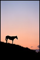Wild horse silhouetted at sunset, South Unit. Theodore Roosevelt National Park, North Dakota, USA. (color)