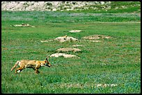 Coyote and  prairie dog burrows, South Unit. Theodore Roosevelt National Park ( color)