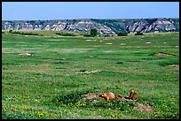 Prairie Dog town, South Unit. Theodore Roosevelt National Park, North Dakota, USA. (color)