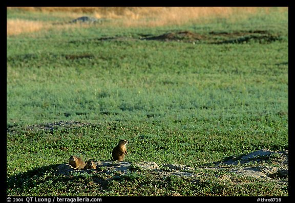 Prairie Dogs look out cautiously, South Unit. Theodore Roosevelt National Park (color)