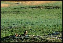 Prairie Dogs look out cautiously, South Unit. Theodore Roosevelt National Park, North Dakota, USA. (color)